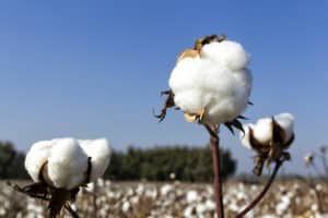 From The Cotton fields to the retail store
